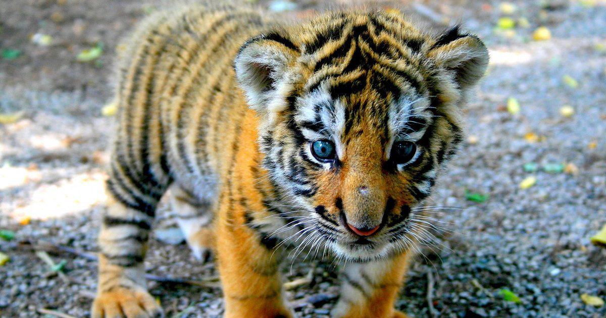 Rescatan a un tigre cachorro en la frontera