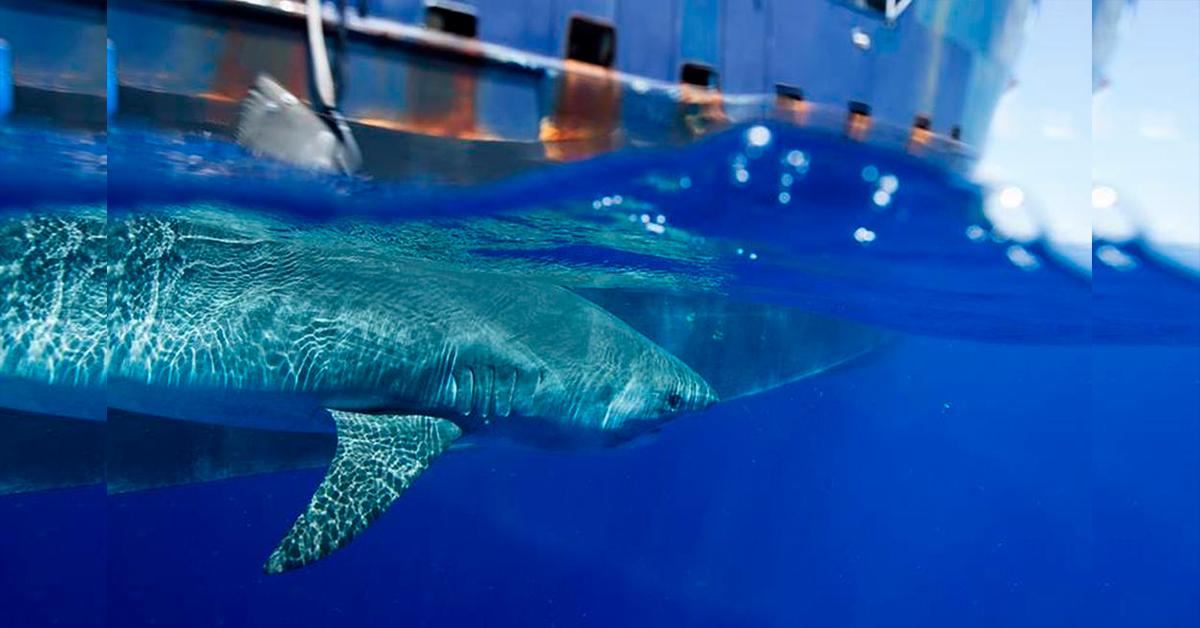 """Hilton, el tiburón que """"tuitea"""" su travesía por el océano"""