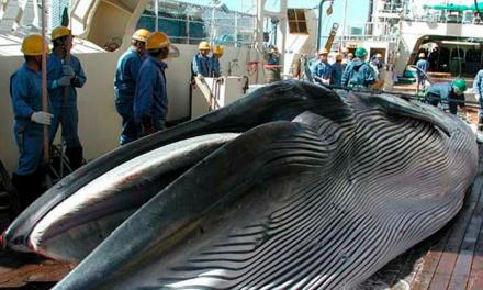 Permitirá Japón cacería de ballenas