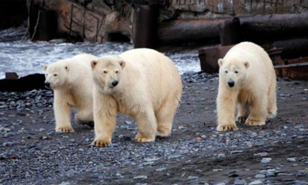 Invasión de osos polares: Poblado ruso se declara estado de emergencia