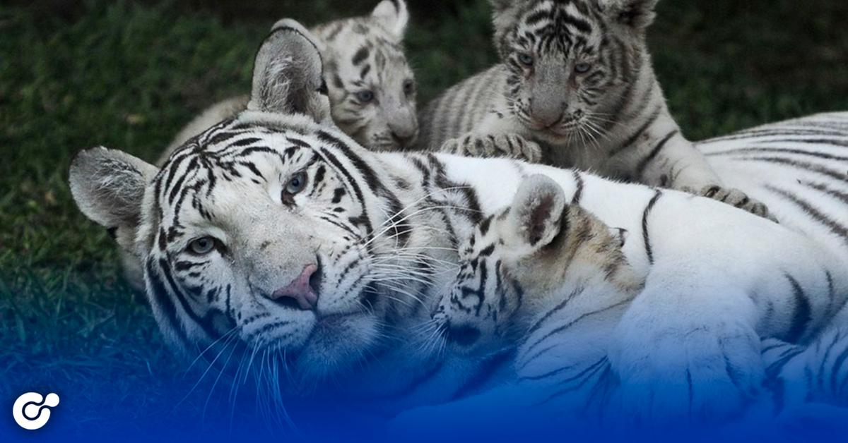 Nacen 3 tigres blancos en La Pastora