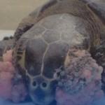 Encuentran en sonora docenas de tortugas con tumores.