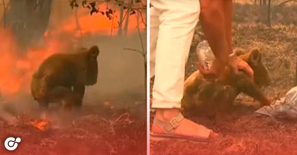 Mujer rescata a koala de morir quemado en un incendio