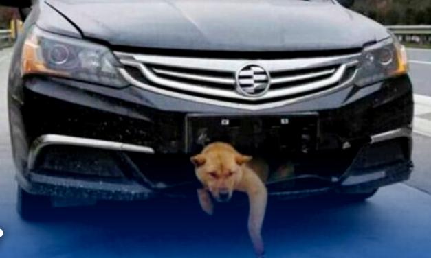 Perrito fue arrollado y sobrevivió atorado en auto