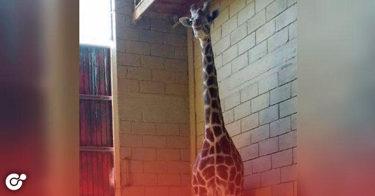 Muere jirafa en el Parque La Pastora