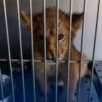 Rescatan a cachorro de león abandonado en Santiago