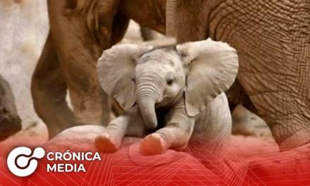 Hoy se celebra el Día Mundial del Elefante