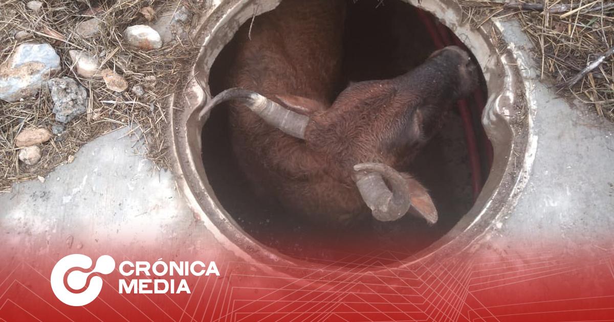 Rescatan a buey atrapado en alcantarilla en García, NL